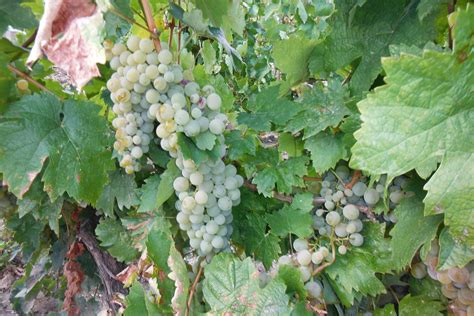 picture of grapes on a vine the day of grapes and sunshine themacedonianconnection