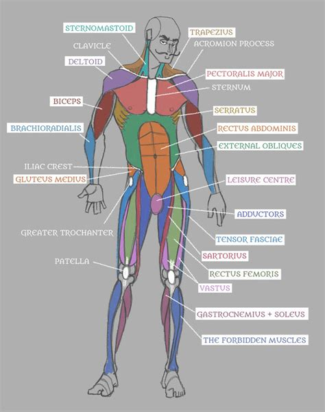 List 3 functions of estrogen: Human Anatomy: Muscles with Labels! by Pseudolonewolf on ...