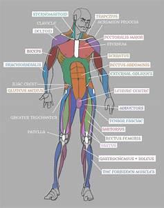 Human Anatomy Muscles Back - HUMAN ANATOMY EDUCATIONS