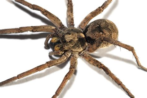 what does a wolf spider look like file wolf spider focus bracket jpg wikimedia commons