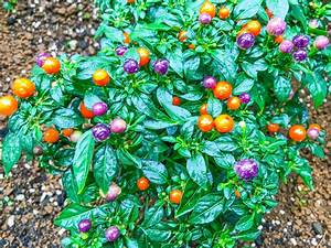 Ornamental, Pepper, Plant, Care, And, Growing, Guide