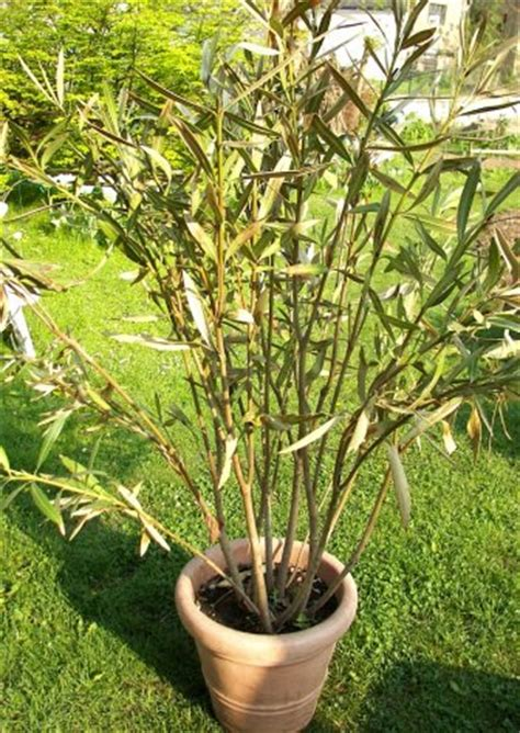 oleander ueberwinterung tipps und wie ich es mache