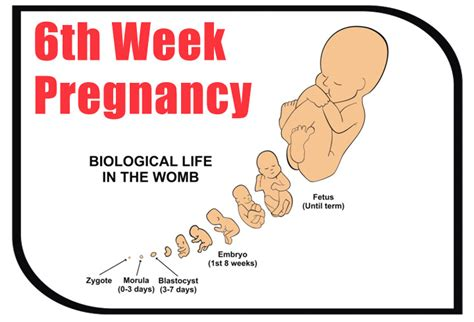 6 Weeks Pregnant  Symptoms, Baby Development, Tips And. Swollen Leg Signs. Cervical Lymphadenitis Signs. Kind Signs Of Stroke. Pathophysiology Signs Of Stroke. Lizard Signs Of Stroke. Hutch Signs Of Stroke. Oversized Signs Of Stroke. Staff Lounge Signs
