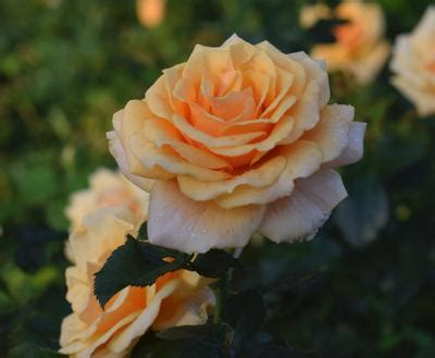 st tropez rosa floribunda st tropez regan nursery