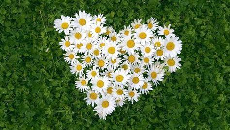 margherite fiori margherite fiori di piante come curare le margherite
