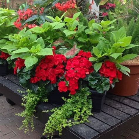 shade flowers for pots 344 best images about shade container gardening on pinterest window boxes hydrangeas and planters