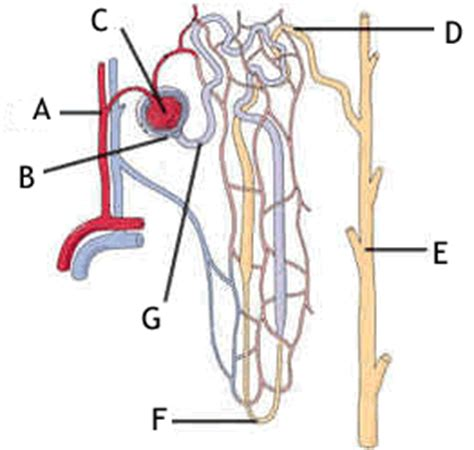 quiz urinary system