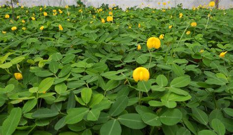 tanaman kacang hias pinto peanut bibitbungacom
