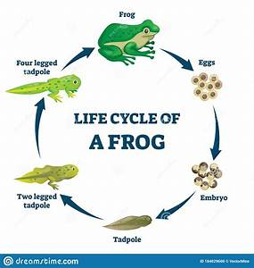 Life Cycle Of A Frog Vector Illustration  Labeled