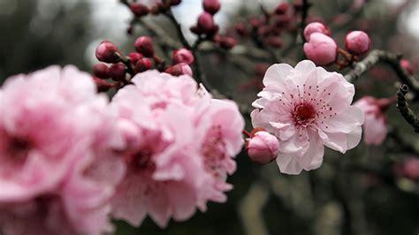 bunga sakura tidak  tumbuh  jepang greenersco