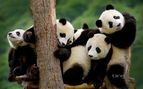 195 Panda Hd Wallpapers