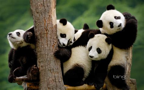 panda hd wallpapers background images wallpaper abyss