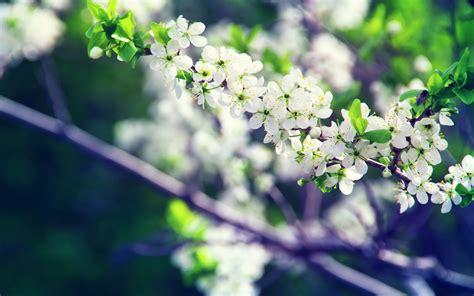 hd spring white flowers wallpaper wallpapersbyte