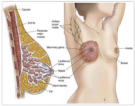 Milk Ducts In Breast Images Welcome To Paradigm Healthcare Limited
