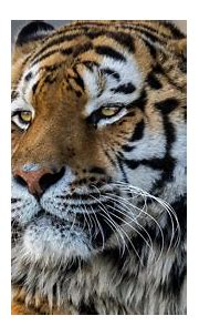 2560x1440 Tiger Closeup 4k 1440P Resolution HD 4k ...