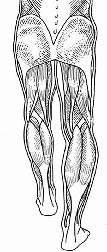 Legs Muscles Anatomy Human Muscle Labeling Physiology