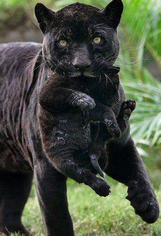 panther gifs bilder panther bilder panther animationen