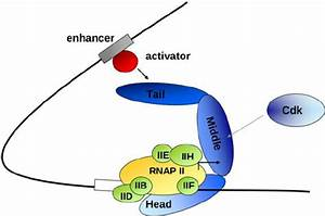 Mediator Transmits Regulatory Signals From Gene
