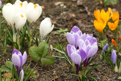 pictures of crocus types of crocus bulbs learn about different spring and fall blooming crocus