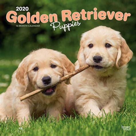 Golden Retriever Puppies Calendar 2020 Animal Den