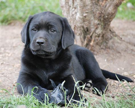 black labrador retriever puppies manchester greater