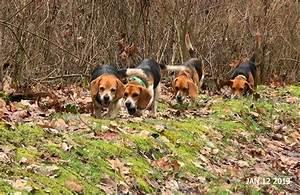 Beagles Hunting Rabbits | www.pixshark.com - Images ...
