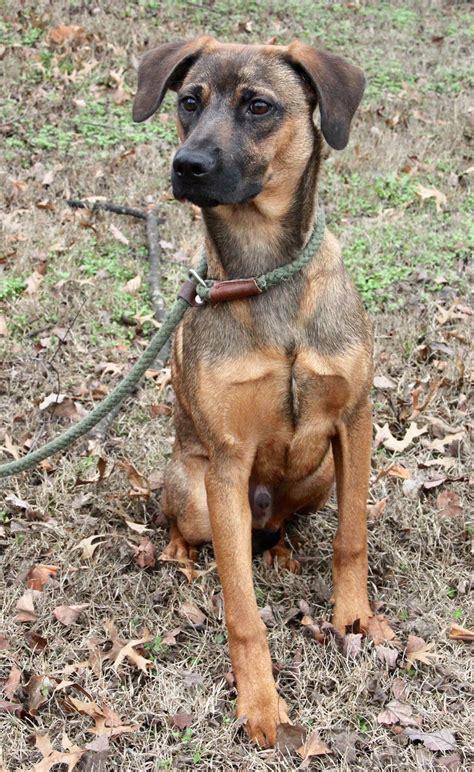 hound terrier mix full grown