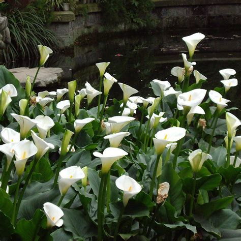 calla roots 2pcs mixed colour calla lily lilies perennial gardening summer bulbs flower corm ebay