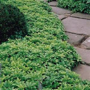 Evergreen Shade Ground Cover Plants