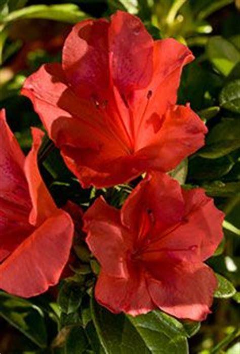images  encore azaleas   garden