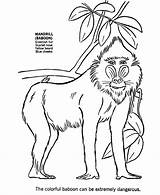 Baboon Coloring Pages Animal African Wild Animals Drawing Printable Africa Mandrill Monkeys Sheet Drawings Templates Baby Wolf Learning Results Sketch sketch template