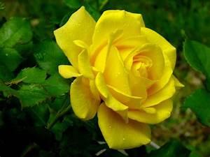 rose flowers wallpaper: Yellow Roses Wallpaper