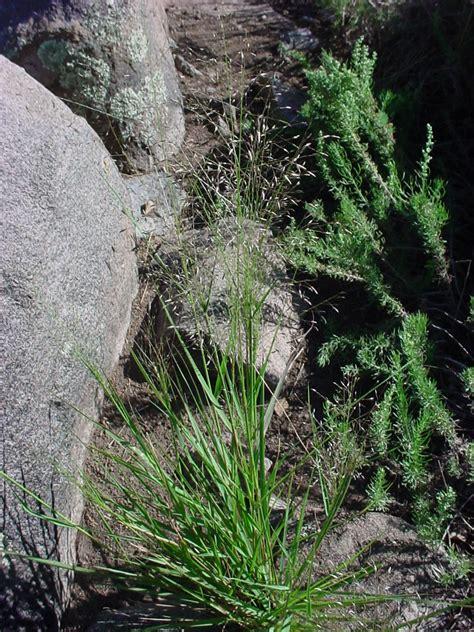 Vascular Plants Of The Gila Wilderness Eragrostis Intermedia