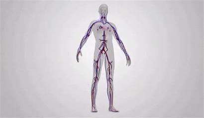 Blood Flow Gfycat Gifs Importance Heart System