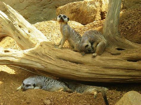 zoo indianapolis zoos usa tripelle wikipedia stierch