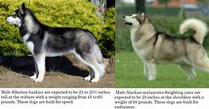 The gallery for --> Malamute Husky Difference