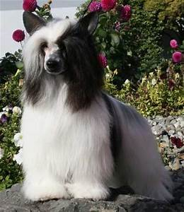 Chinese Crested Powderpuff Variety--Small Breed Dogs