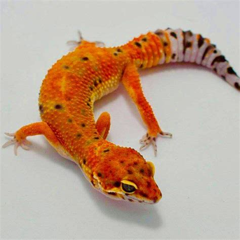 leopard gecko colors inferno leopard gecko for sale baby inferno leopard geckos