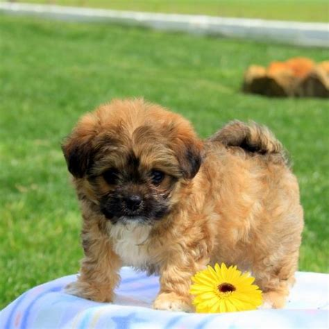 Puppies For Sale In Pa Find Your Perfect Puppy At