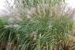 Miscanthus sinensis 'Silberfeder' | landscape architect's ...