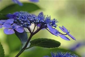 Welche Erde Für Hortensien : welche erde f r hortensien verwenden ~ Eleganceandgraceweddings.com Haus und Dekorationen