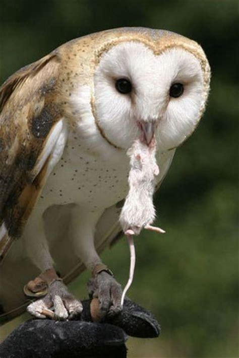 What Do Barn Owls Eat by What Really Eat Birds 23 Pics Izismile
