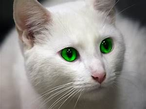 Cute and Pet Animals: White Cats With Green Eyes