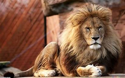 Lion Male Wallpapers Animals Lions Animal Desktop