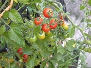 Plant Tomate Cerise : comment faire pousser des tomates cerises sur balcon ~ Melissatoandfro.com Idées de Décoration