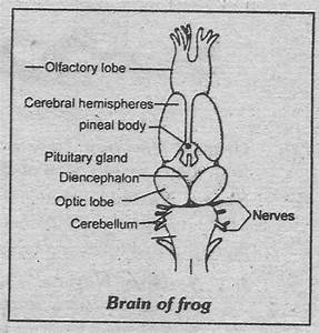 Notes Guide Book  Explain The Nervous System Of Frog
