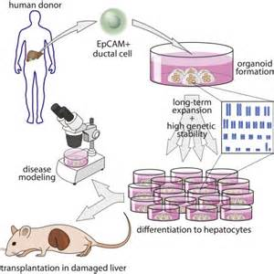 long term culture  genome stable bipotent stem cells