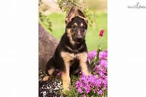 Meet Fido a cute German Shepherd puppy for sale for $500 ...