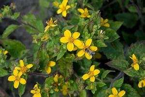 Bodendecker Gelb Blühend : goldk rbchen chrysogonum virginianum g nstig online kaufen ~ Frokenaadalensverden.com Haus und Dekorationen