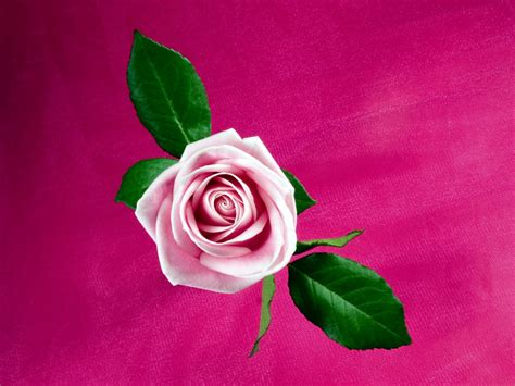 Cool Pink Rose Wallpapers